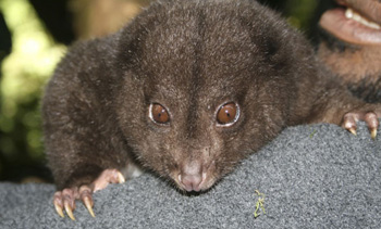 png-cuscus